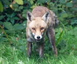 Garden Fox Watch: Another satisfied customer