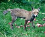 Garden Fox Watch: On the alert