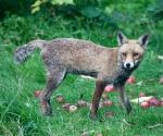 Garden Fox Watch: The older fox