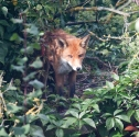 Garden Fox Watch: Nesting fox