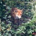 Garden Fox Watch: Nesting fox