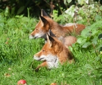 Garden Fox Watch: Autumnal foxes