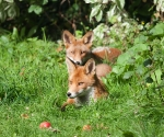 Garden Fox Watch: A splash of colour