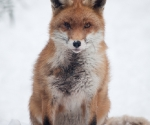 Garden Fox Watch: Fox in the snow