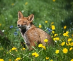 Garden Fox Watch: Mrs Fox among the flowers