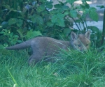 Garden Fox Watch: Welcome,  2011's fox cubs!