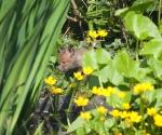 Garden Fox Watch: Hiding by the pond