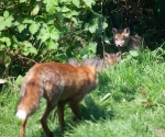 Garden Fox Watch: Come on out!