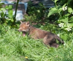 Garden Fox Watch: Roar!