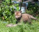 Garden Fox Watch: On top