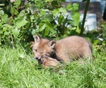 Garden Fox Watch: Do _not_ eat your sibling's head.