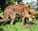 Garden Fox Watch: What _have_ I produced...