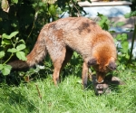 Garden Fox Watch: Spit wash