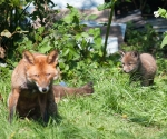Garden Fox Watch: This wasn't in the manual.