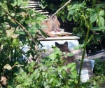 Garden Fox Watch: I have no idea what he's licking.
