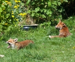 Garden Fox Watch: It's tiring being parents...