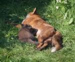 Garden Fox Watch: Nom nom nom