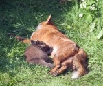 Garden Fox Watch: I bet those little claws are very sharp