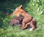 Garden Fox Watch: -- the teeth are probably sharp too...