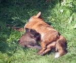 Garden Fox Watch: Suckling