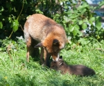 Garden Fox Watch - Spit wash