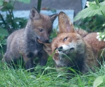 Garden Fox Watch - Chew toy