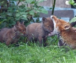 Garden Fox Watch - Chew my ear, I EAT YOUR HEAD