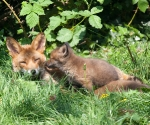 Garden Fox Watch - Noses
