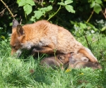 Garden Fox Watch - The feed