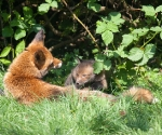 Garden Fox Watch - Safe behind Mum
