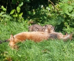 Garden Fox Watch - Pairs of ears
