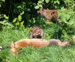 Garden Fox Watch - Mum, you're so tasty!