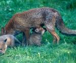 Garden Fox Watch - The promised land