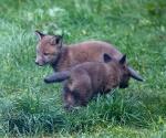 Garden Fox Watch - Spot the white tail tip