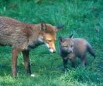 Garden Fox Watch - Lessons