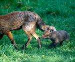 Garden Fox Watch - Following along