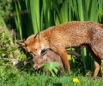 Garden Fox Watch - It's called a dandelion, they're not scary