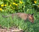 Garden Fox Watch - Hunting