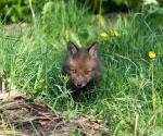 Garden Fox Watch - So earnest