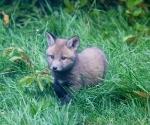 Garden Fox Watch - Just fluffy