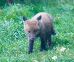 Garden Fox Watch: My nose tastes good