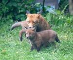Garden Fox Watch: Spit wash