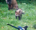 Garden Fox Watch: Stalking the magpie