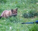 Garden Fox Watch: Stalking the magpie (II)