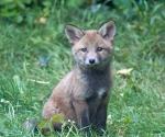 Garden Fox Watch: See how cute I am