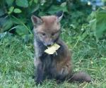 Garden Fox Watch: I have a leaf