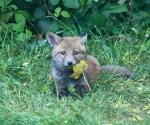 Garden Fox Watch: It is a tasty leaf