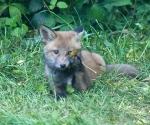 Garden Fox Watch: The leaf is my only friend *emo foxcub*