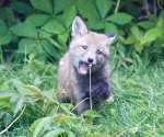 Garden Fox Watch: But this dandelion looks interesting