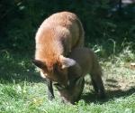 Garden Fox Watch: The wash